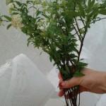 切り花を長持ちさせるコツは水揚げ!(枝モノ・こでまり)②